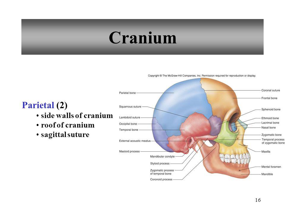 Cranium Parietal (2) side walls of cranium roof of cranium