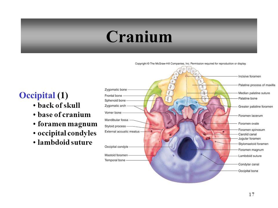 Cranium Occipital (1) back of skull base of cranium foramen magnum