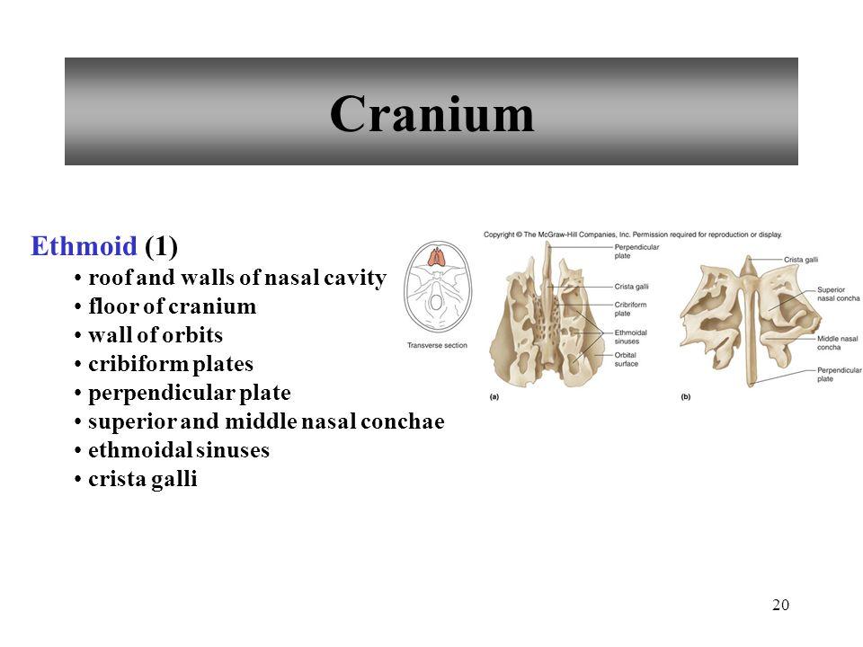Cranium Ethmoid (1) roof and walls of nasal cavity floor of cranium