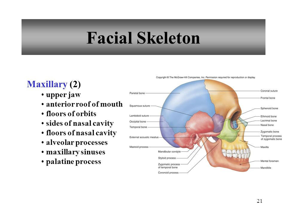 Facial Skeleton Maxillary (2) upper jaw anterior roof of mouth