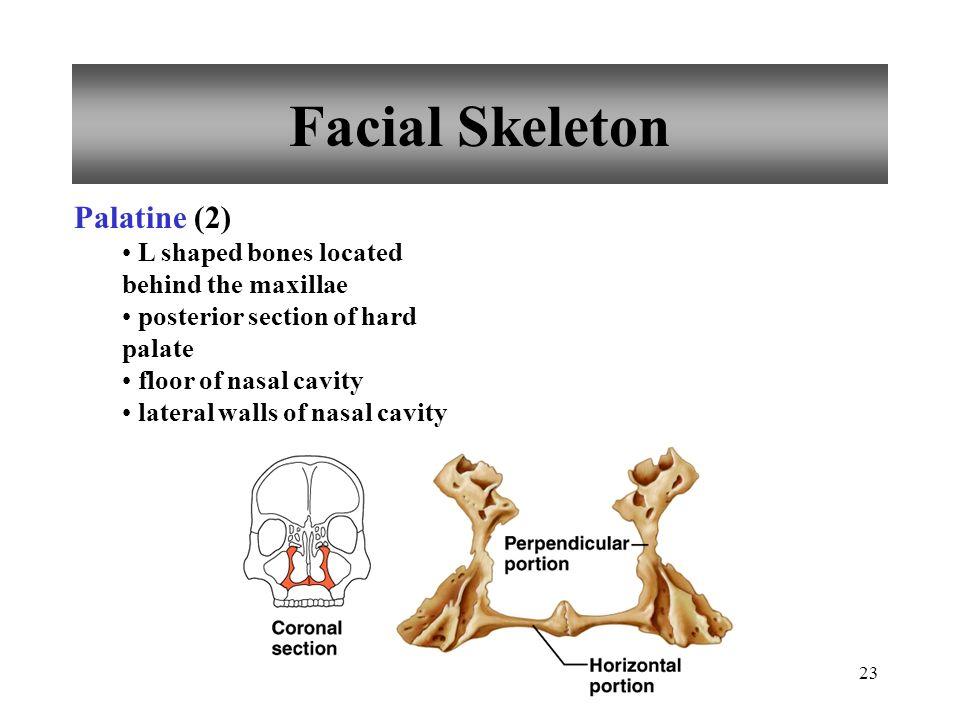 Facial Skeleton Palatine (2)