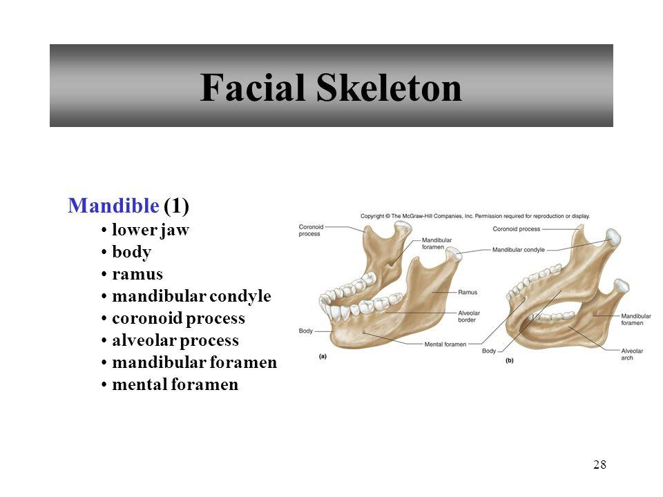Facial Skeleton Mandible (1) lower jaw body ramus mandibular condyle