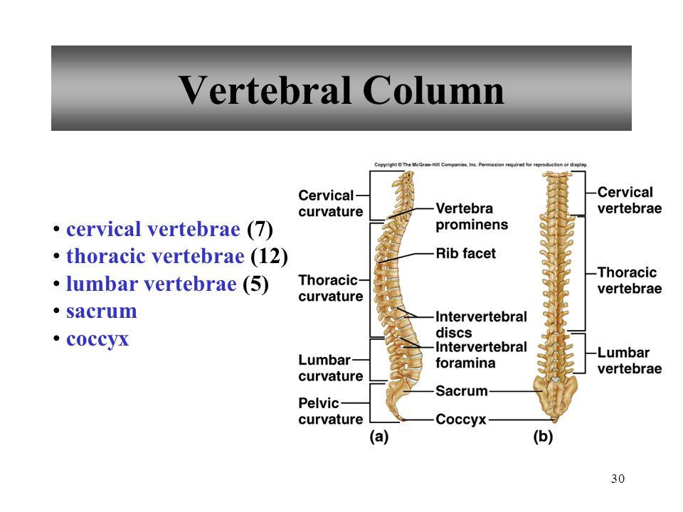Vertebral Column cervical vertebrae (7) thoracic vertebrae (12)