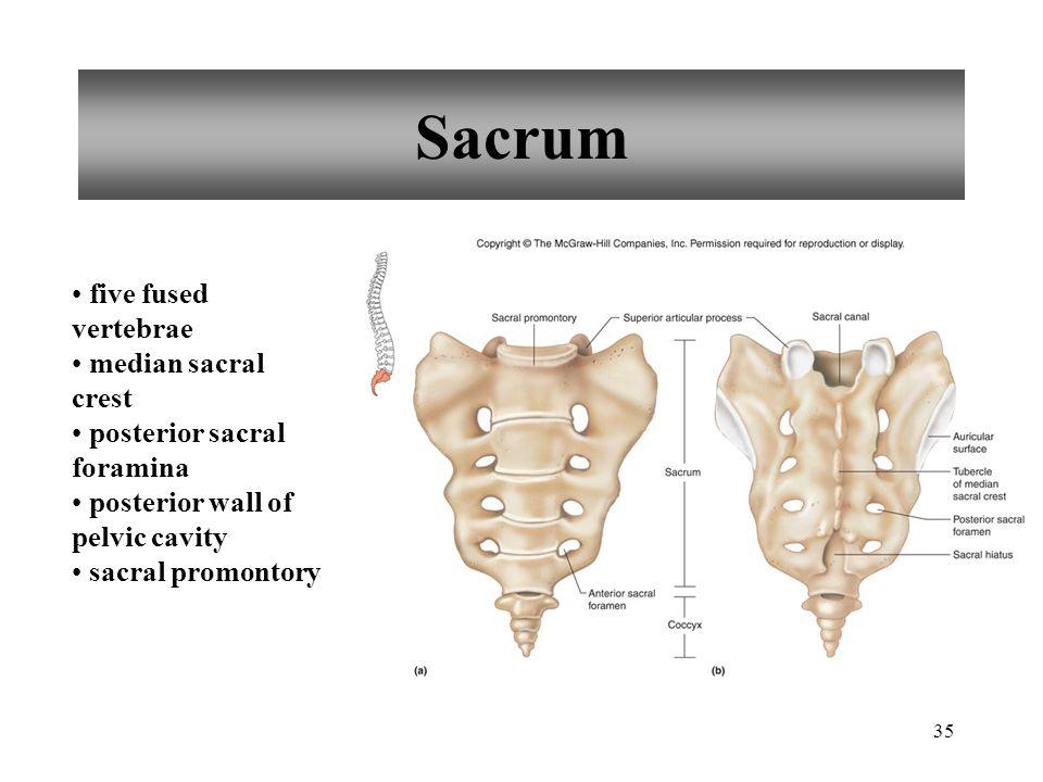 Sacrum five fused vertebrae median sacral crest