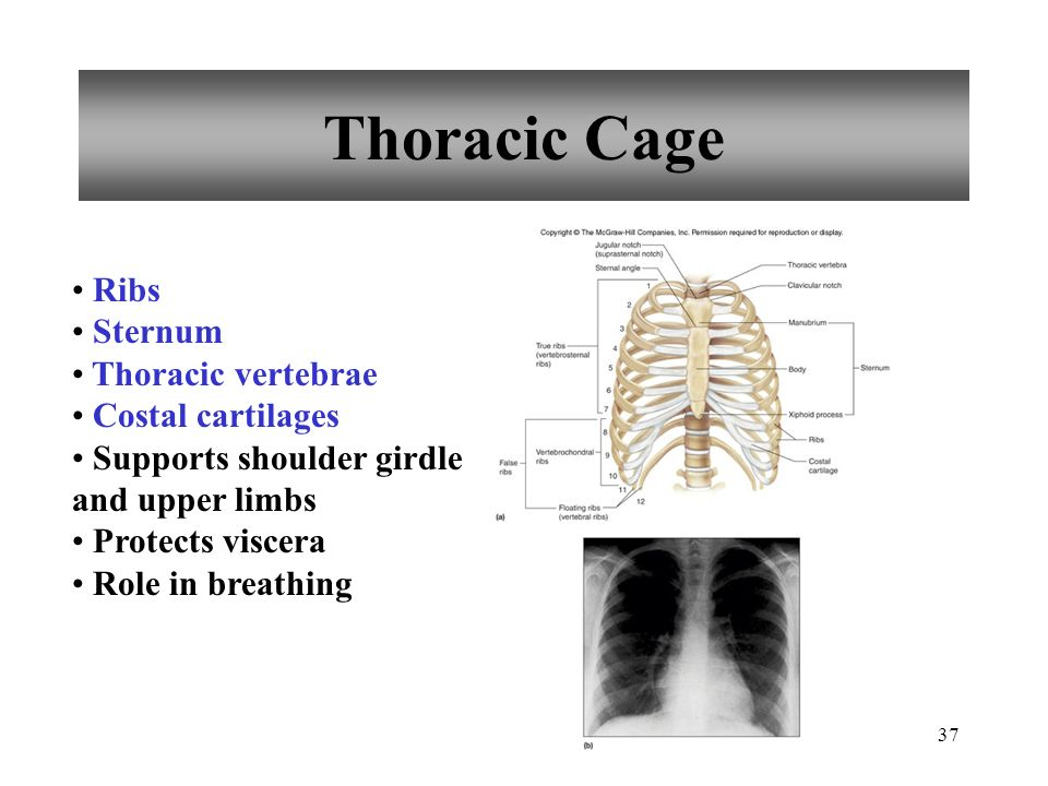 Thoracic Cage Ribs Sternum Thoracic vertebrae Costal cartilages