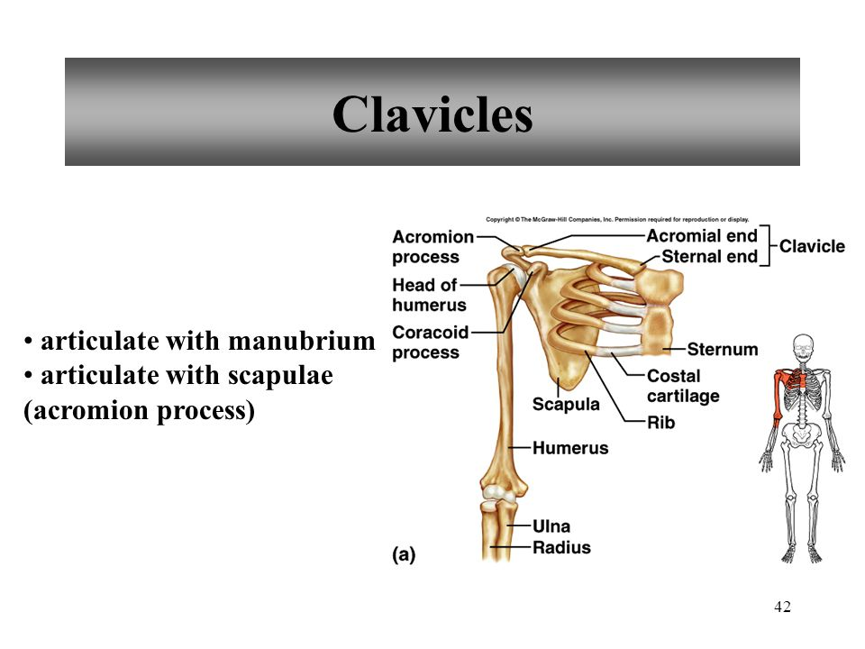 Clavicles articulate with manubrium