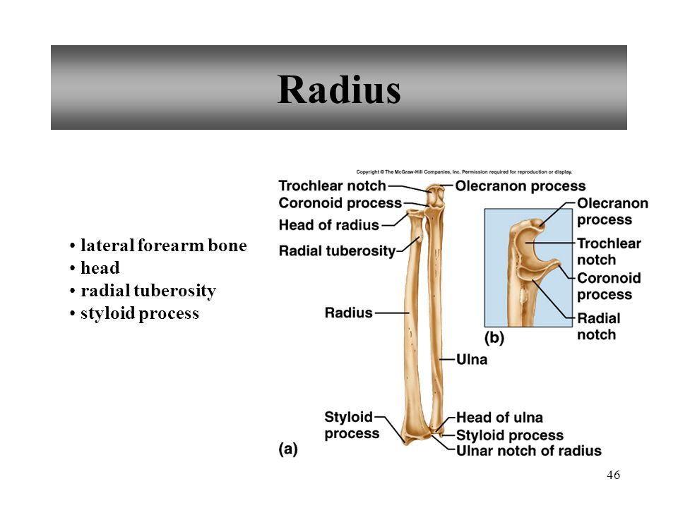 Radius lateral forearm bone head radial tuberosity styloid process