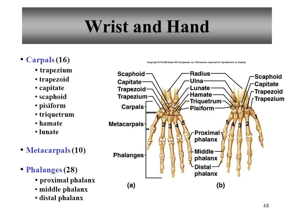 Wrist and Hand Carpals (16) Metacarpals (10) Phalanges (28) trapezium