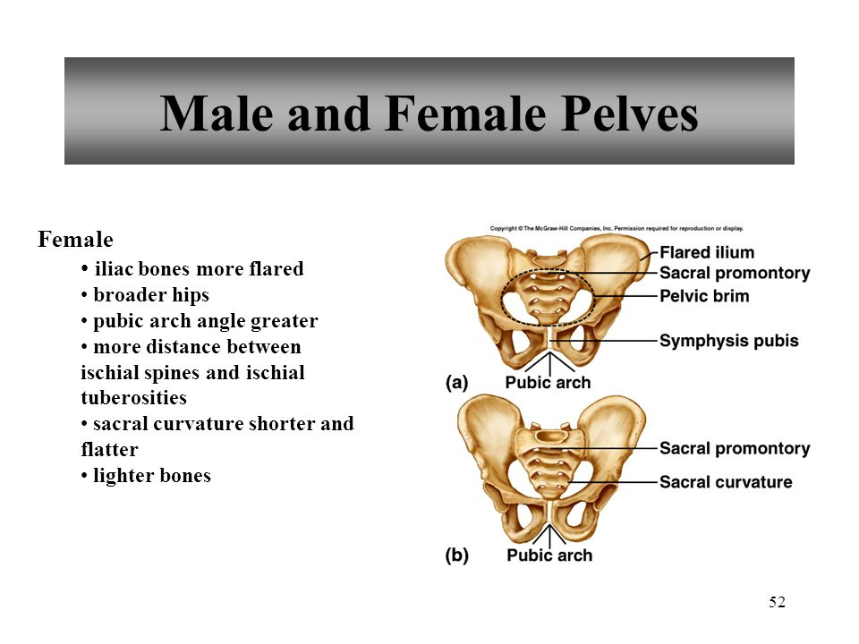 Male and Female Pelves Female iliac bones more flared broader hips