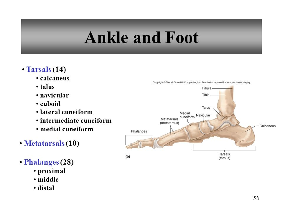 Ankle and Foot Tarsals (14) Metatarsals (10) Phalanges (28) calcaneus