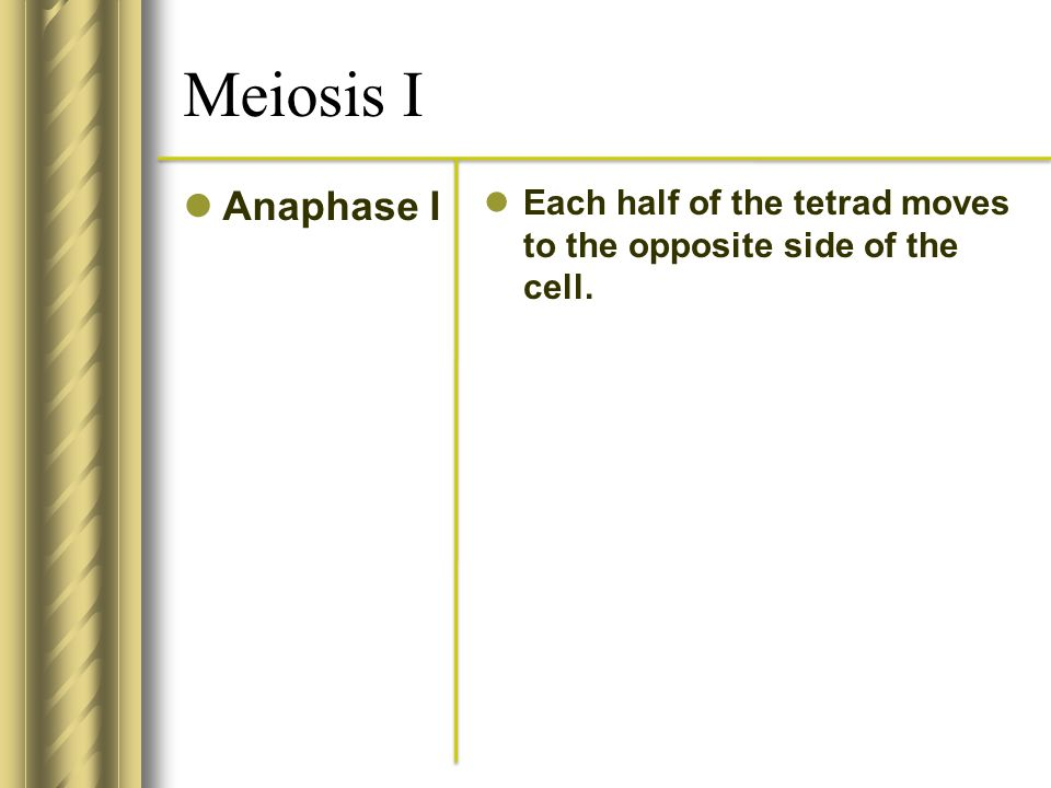 Meiosis I Anaphase I Each half of the tetrad moves to the opposite side of the cell.