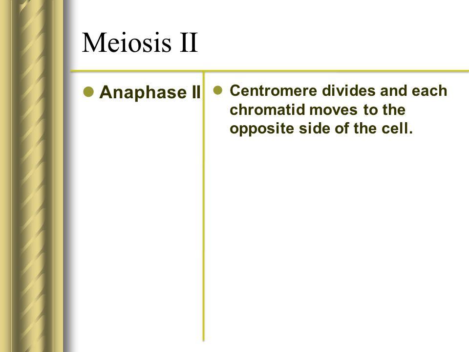 Meiosis II Anaphase II.