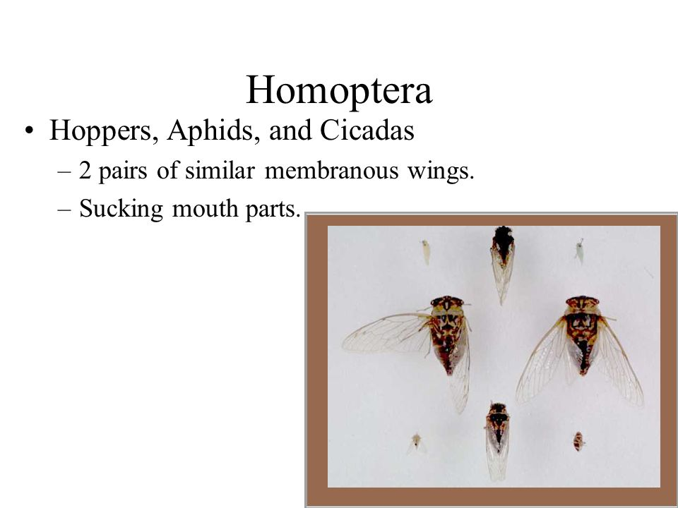 Homoptera Hoppers, Aphids, and Cicadas