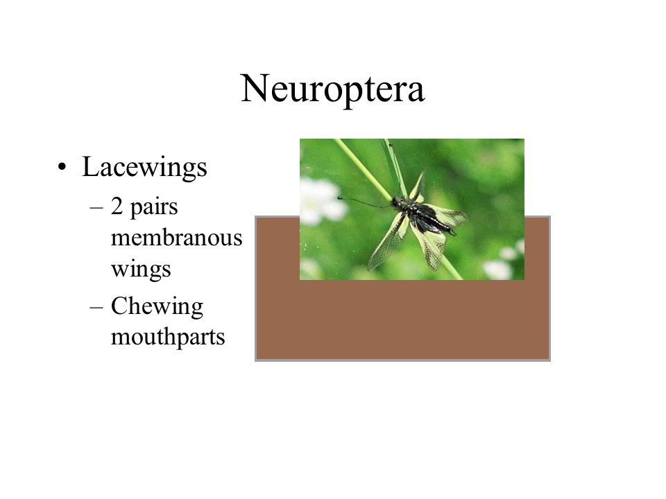 Neuroptera Lacewings. 2 pairs membranous wings. Chewing mouthparts.