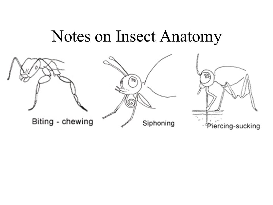 Notes on Insect Anatomy