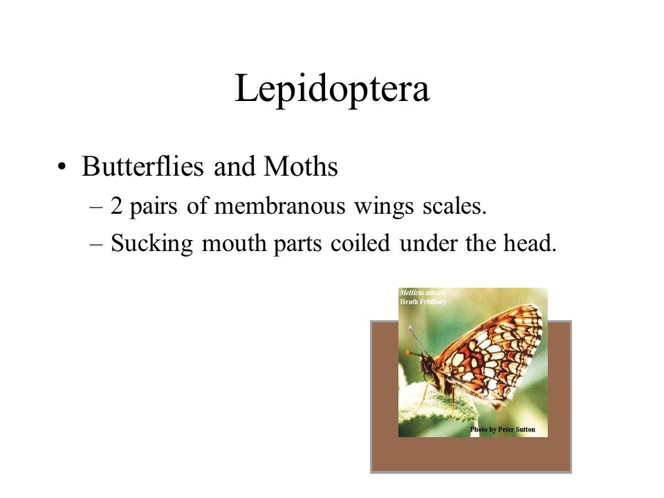 Lepidoptera Butterflies and Moths 2 pairs of membranous wings scales.