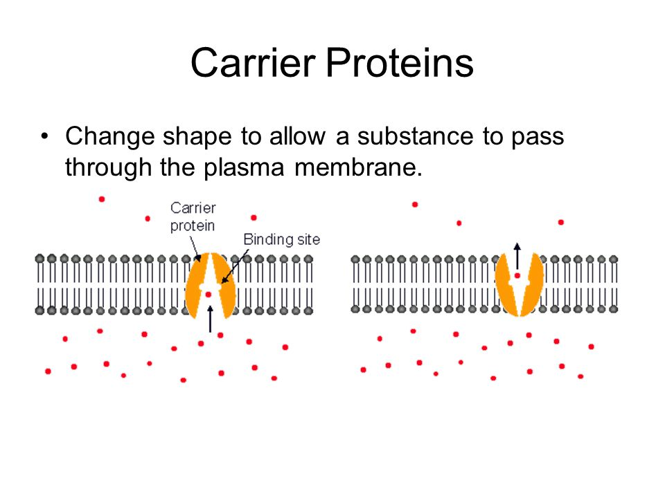 Carrier Proteins Change shape to allow a substance to pass through the plasma membrane.