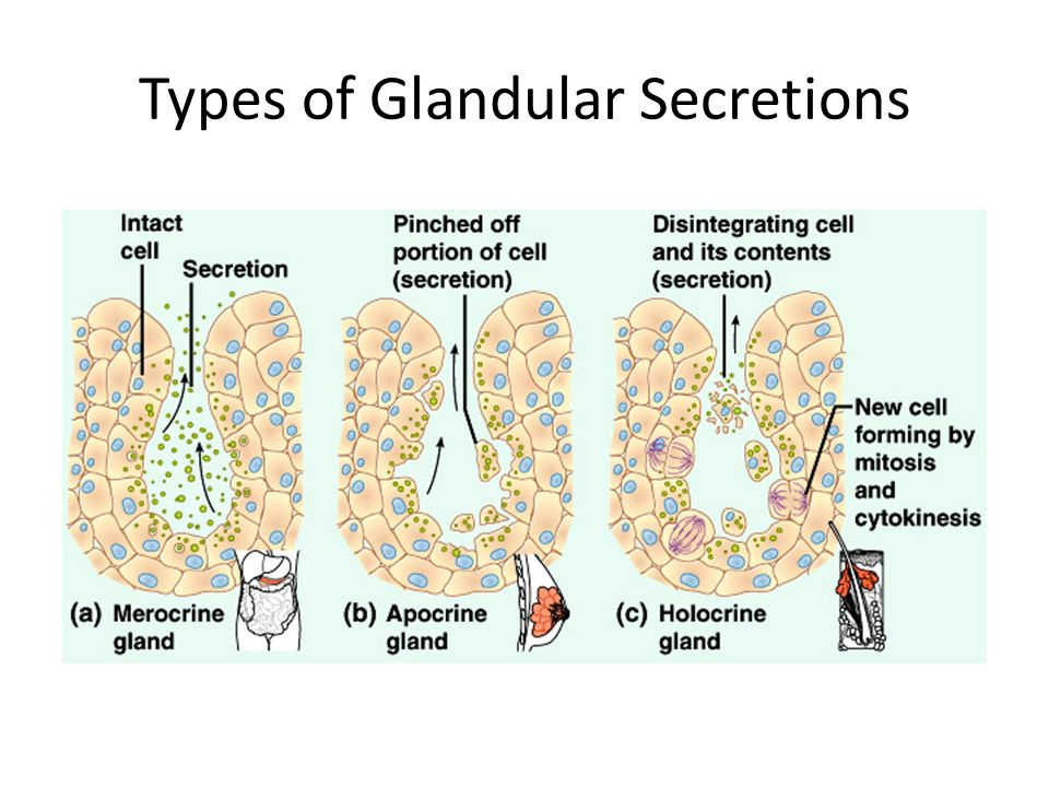 Types of Glandular Secretions