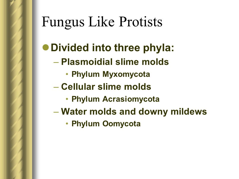 Fungus Like Protists Divided into three phyla: Plasmoidial slime molds