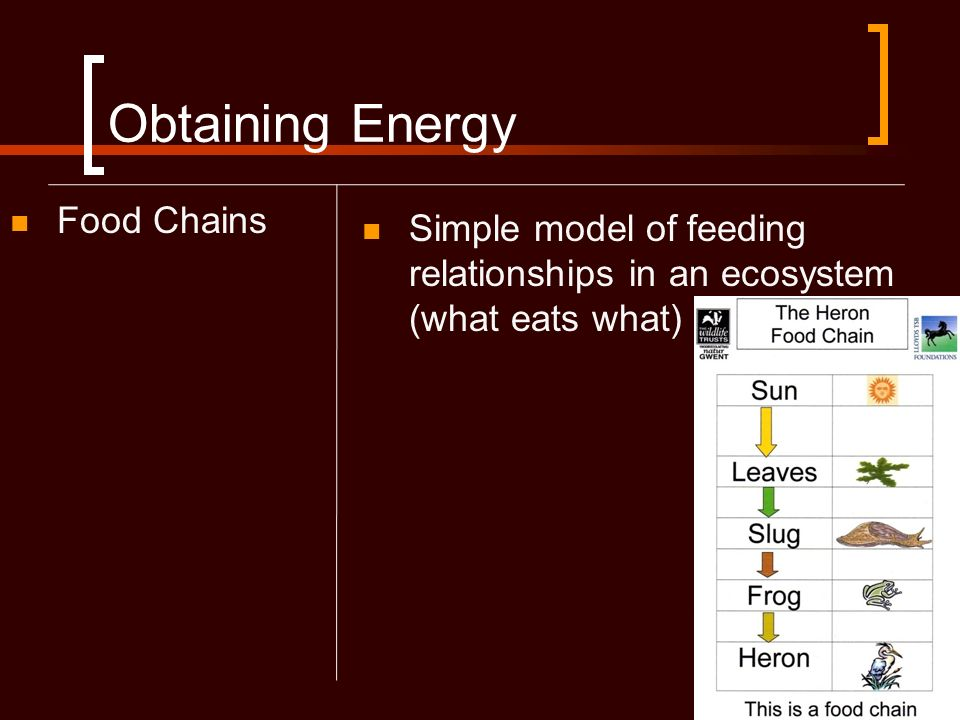 Obtaining Energy Food Chains