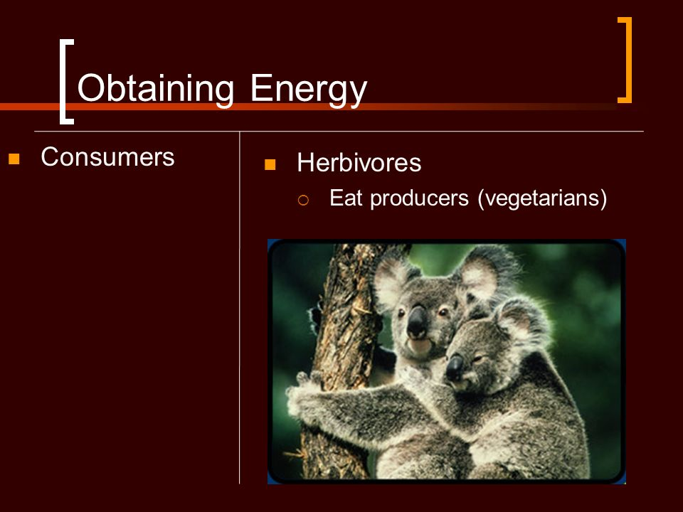 Obtaining Energy Consumers Herbivores Eat producers (vegetarians)