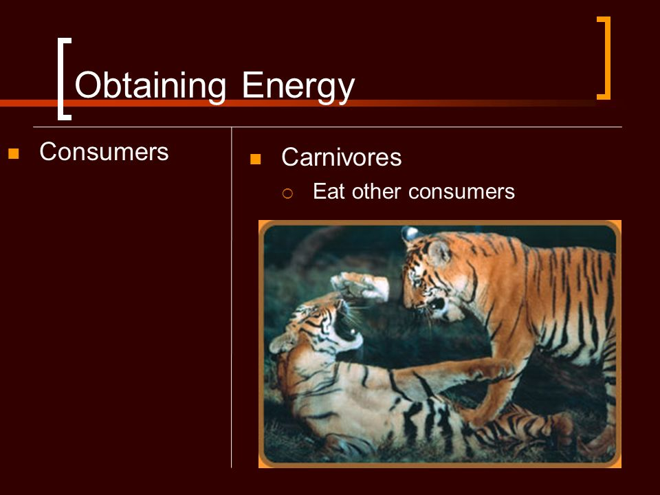 Obtaining Energy Consumers Carnivores Eat other consumers