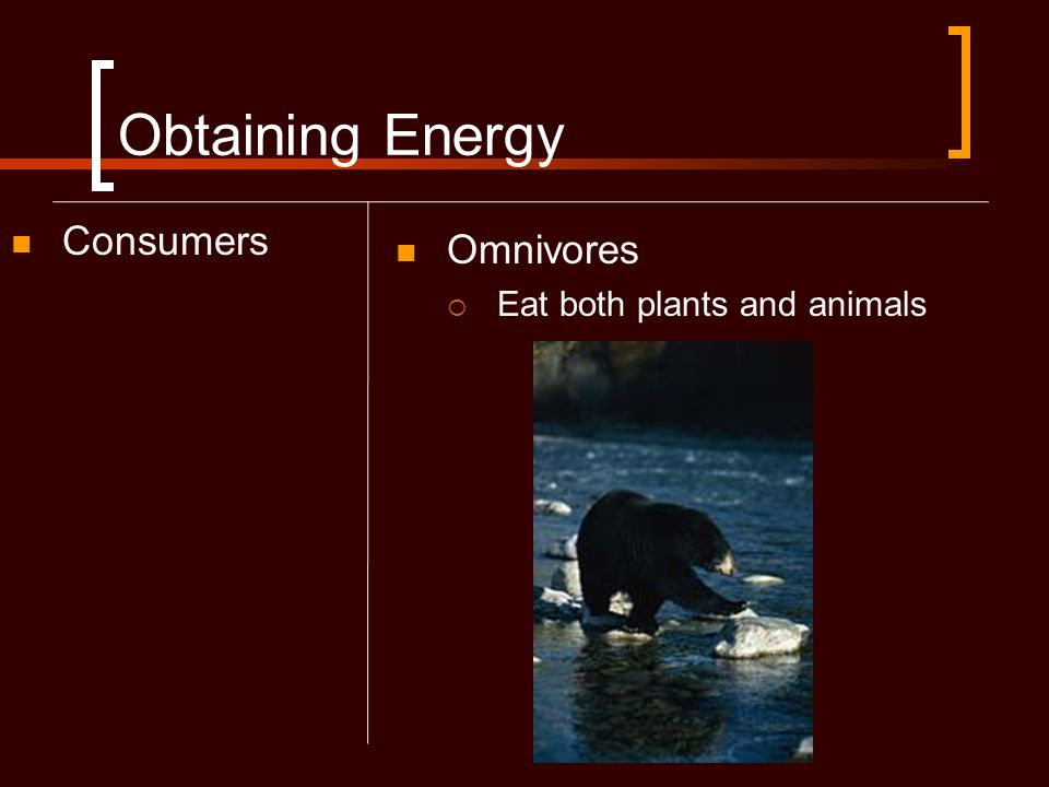 Obtaining Energy Consumers Omnivores Eat both plants and animals