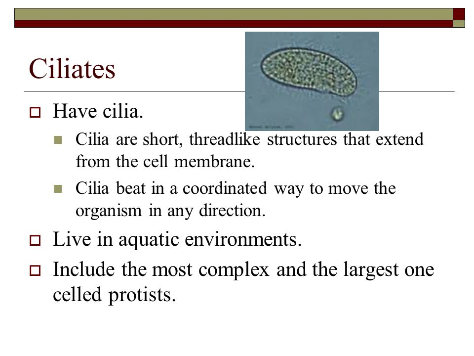 Ciliates Have cilia. Live in aquatic environments.