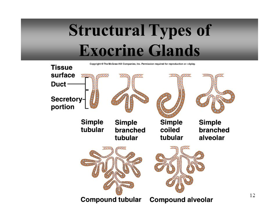 Structural Types of Exocrine Glands