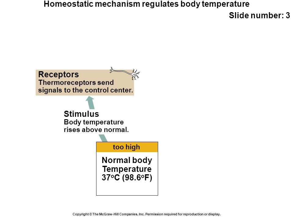 Homeostatic mechanism regulates body temperature