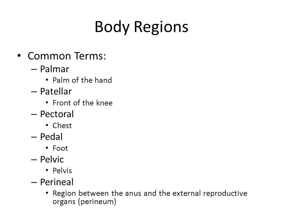 Body Regions Common Terms: Palmar Patellar Pectoral Pedal Pelvic