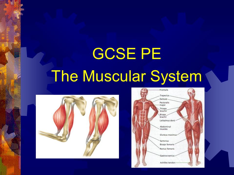 Gcse Pe The Muscular System Ppt Video Online Download