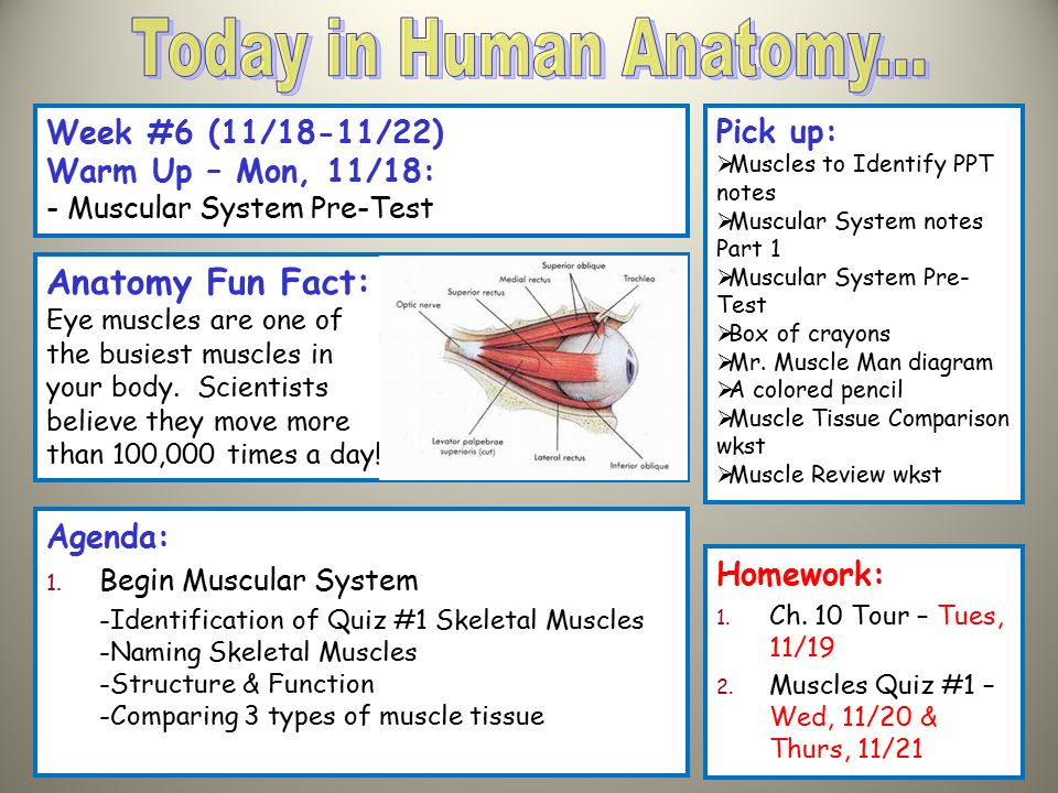 Today In Human Anatomy Anatomy Fun Fact Week 6 1118 1122