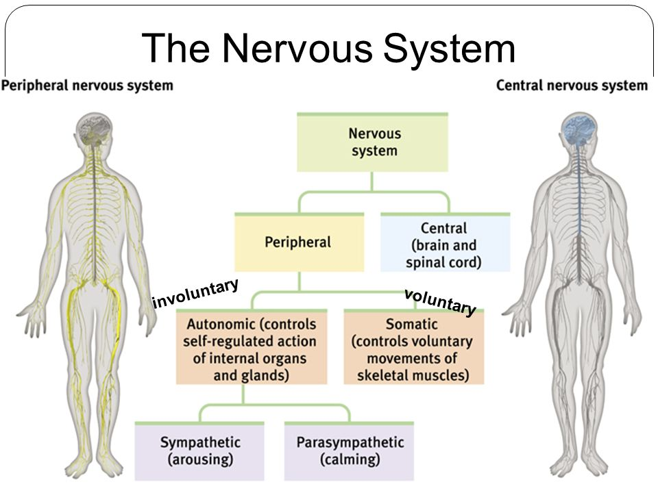 nervous system influence in shaping behaviour Genetic influence on behavior by rick nauert phd ~ 2 min read the data could help shape future treatments for conditions such as parkinson's disease, which involves dopamine loss frank suggested that genetic factors involved in influencing motivational processes in the brain could.
