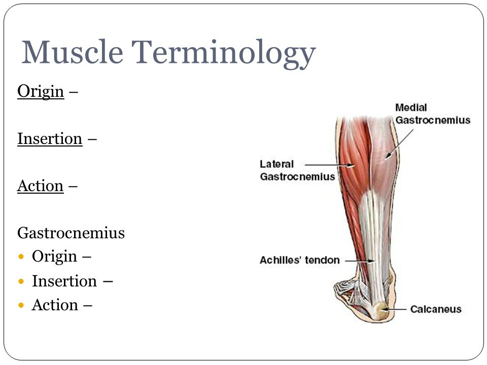 Gastrocnemius Muscle Origin And Insertion Muscles. - ppt video o...