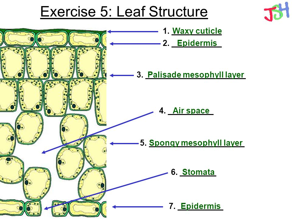 Exercise 5: Leaf Structure