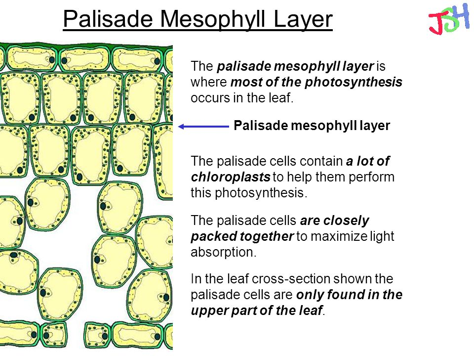 Which type of mesophyll carries on photosynthesis equivalence thesis rachels