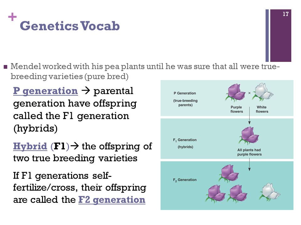 Intro to Genetics and ...P Generation