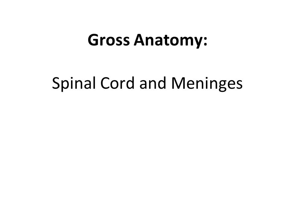 Gross Anatomy Spinal Cord And Meninges Ppt Video Online Download