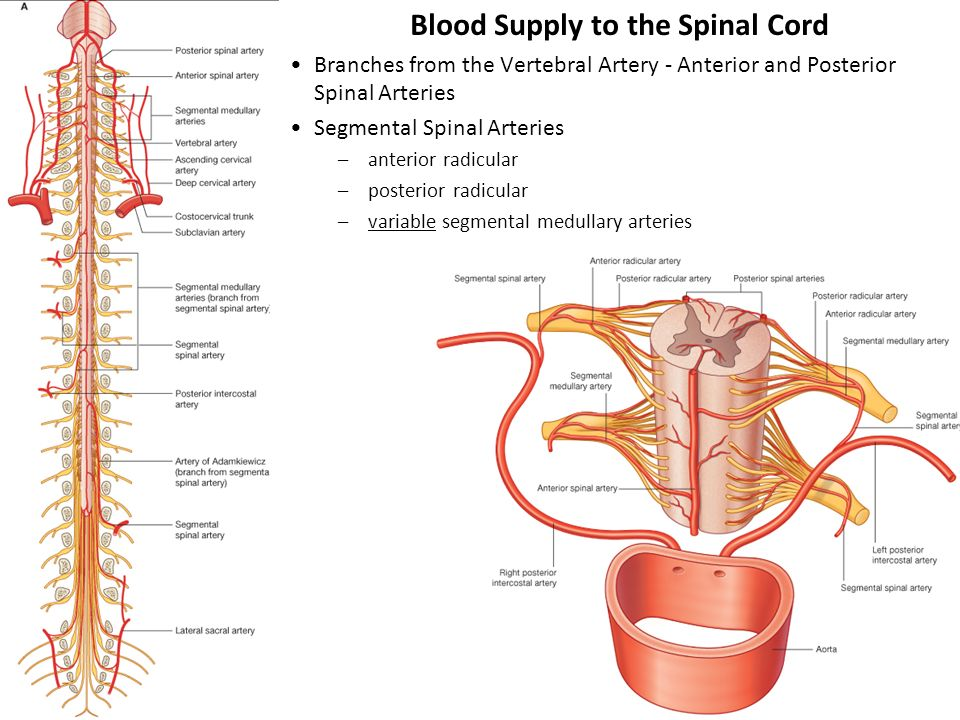 Anatomy of spine and spinal cord