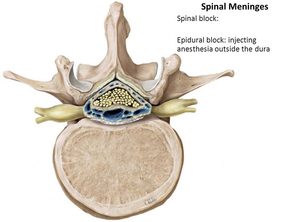 meninges and spinal cord Meninges the spinal cord and spinal nerve roots are surrounded by meninges : one pachimeninx (dura mater) and two leptomeninges (arachnoid and pia.