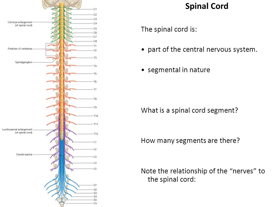 Spinal anatomy 2 class notes Custom paper Academic Writing Service ...
