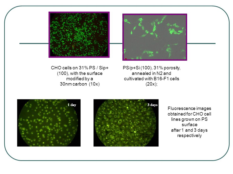 CHO cells on 31% PS / Sip+ (100), with the surface modified by a