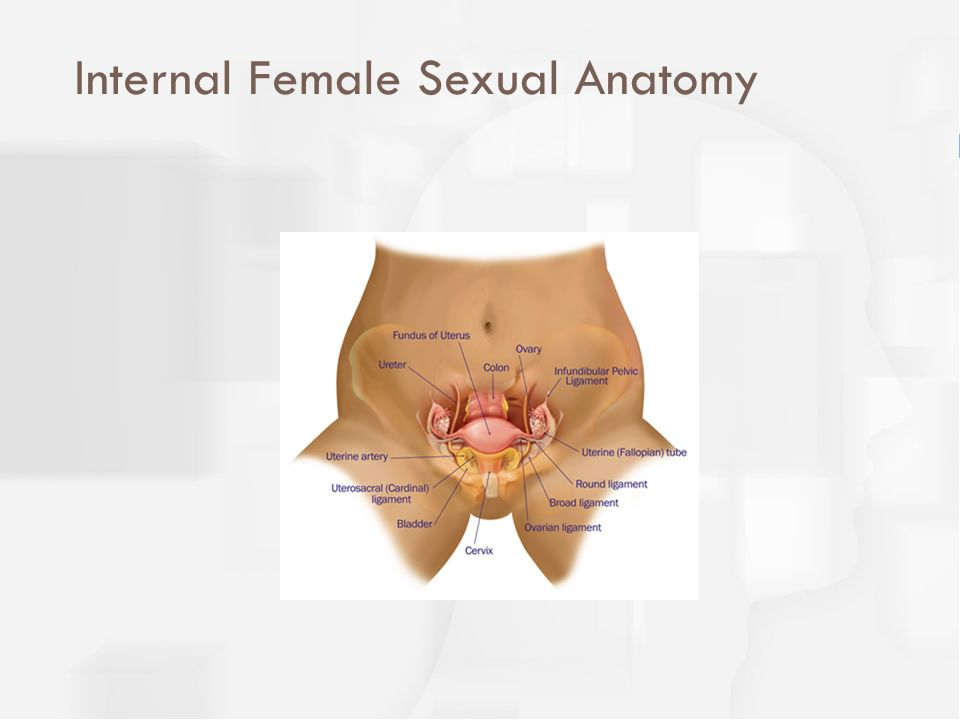 Internal Female Sexual Anatomy