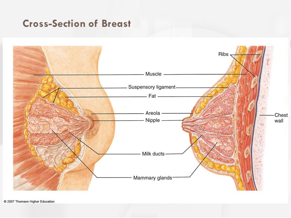 Cross-Section of Breast