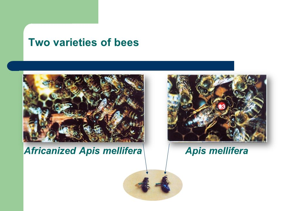 Two varieties of bees Africanized Apis mellifera Apis mellifera