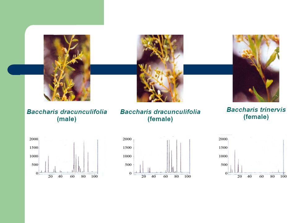 Baccharis dracunculifolia (male)