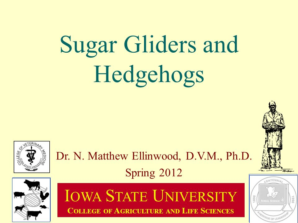 Sugar Gliders And Hedgehogs Ppt Video Online Download