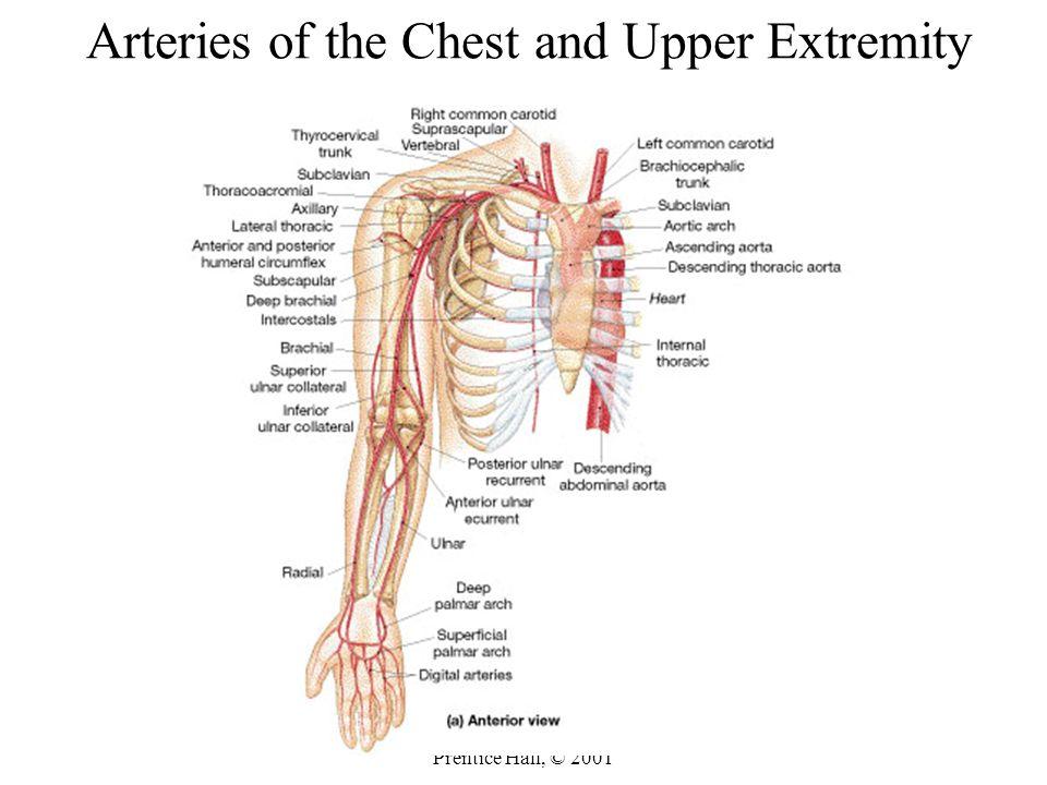 Nice Upper Limb Anatomy Videos Embellishment - Human Anatomy Images ...
