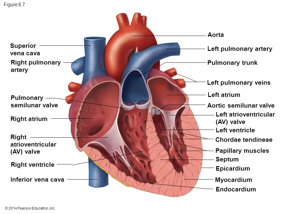 Heart Diagram Semilunar Valves Image collections - How To ...